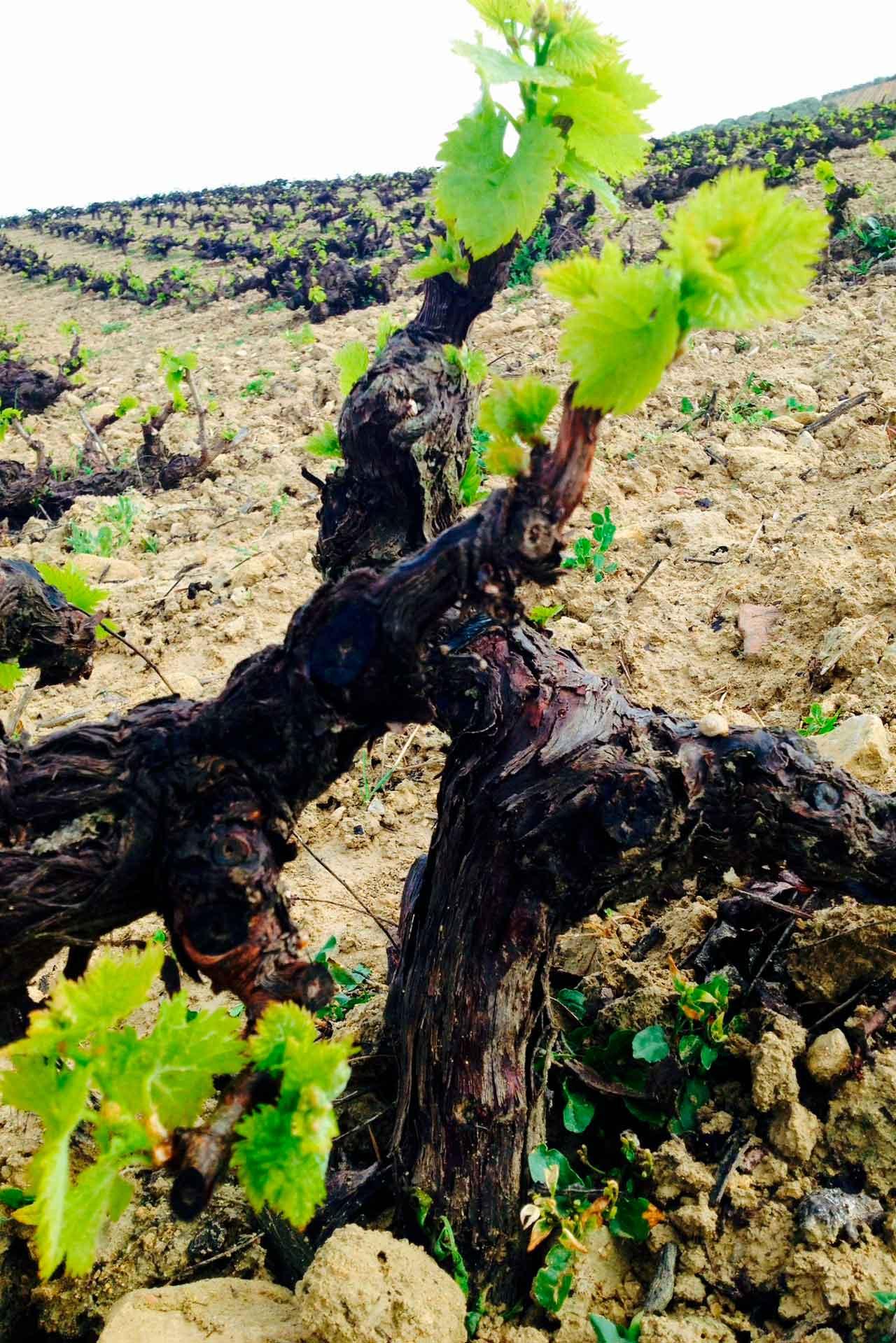 La vid y la campiña | Vineyards and countryside | La vigne et la campagne